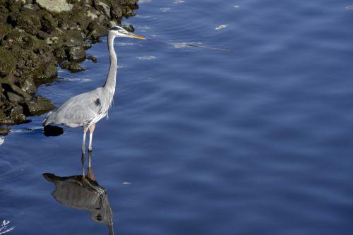 Blue Heron Standing
