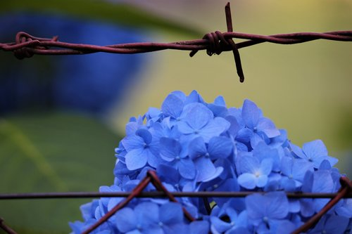 blue hortensia  fence  blooming