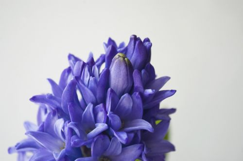 blue hyacinth flower purple