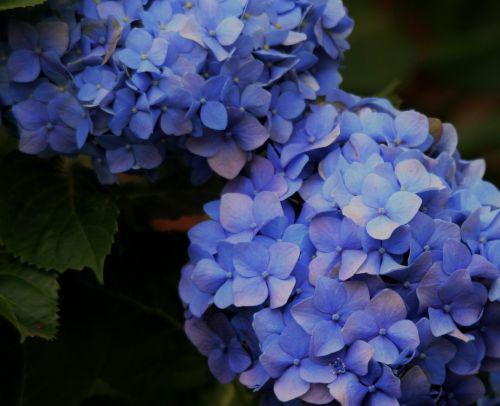 Blue Hydrangea Flowering