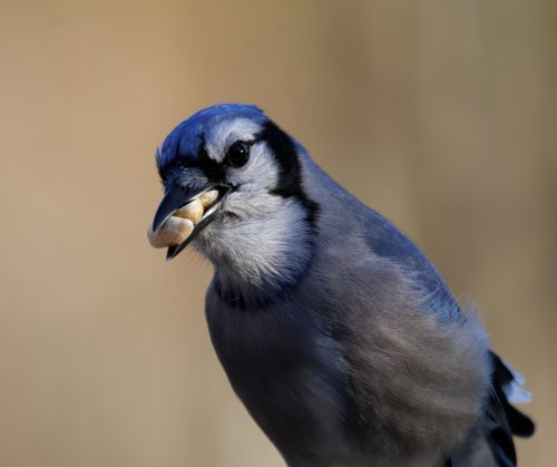 blue jay bird eating