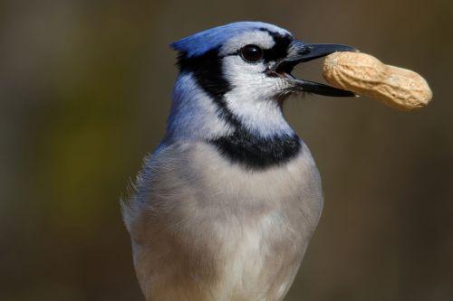blue jay eating peanut