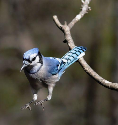 blue jay birding bird