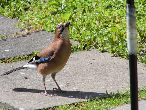 blue-jay bird feeder