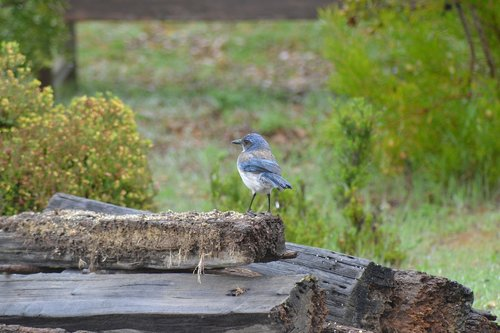 blue jay  scrub jay  california