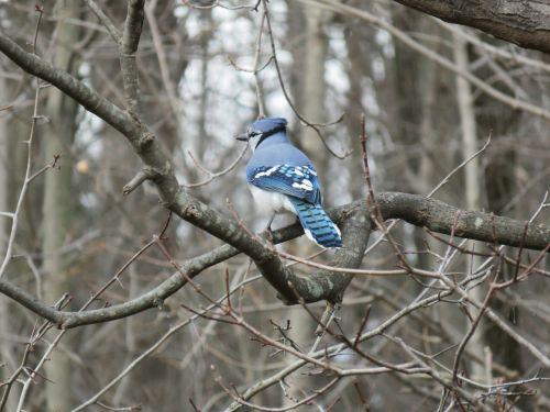 blue jay jay branch