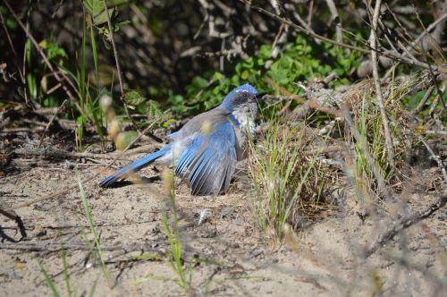 blue-jay scrub-jay bird