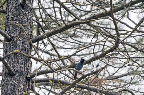 Blue Jay In Trees