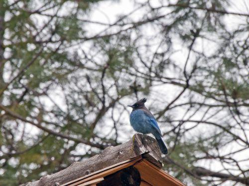Blue Jay On Roof Corner