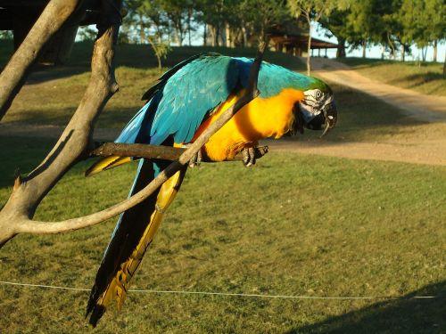 blue macaw yellow macaw animal