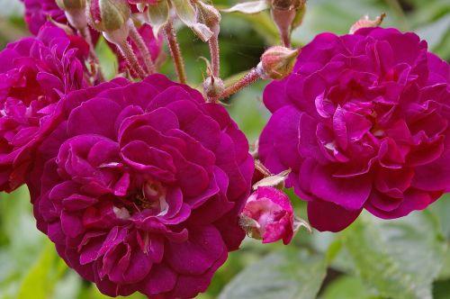 blue magenta rose ramplerrose