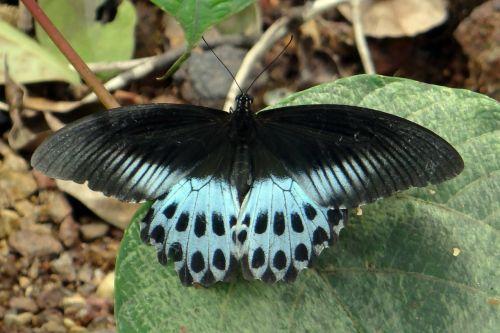 mėlynas mormonas,papilio polymnestor,didelis,swallowtail drugelis,Pietų Indija,piliakalnis,Vakarų gatas,Indija