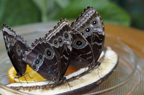 blue morpho butterfly rainforest