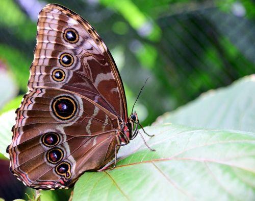 blue morphofalter morpho peleides butterfly wings
