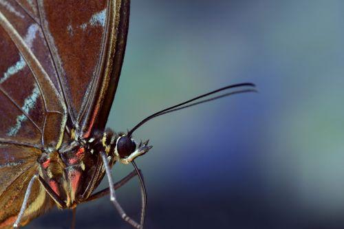 blue morphofalter morpho peleides wing