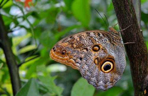 blue morphofalter  tropics  butterfly