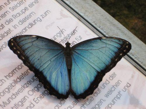 blue morphofalter morpho peleides sky butterfly