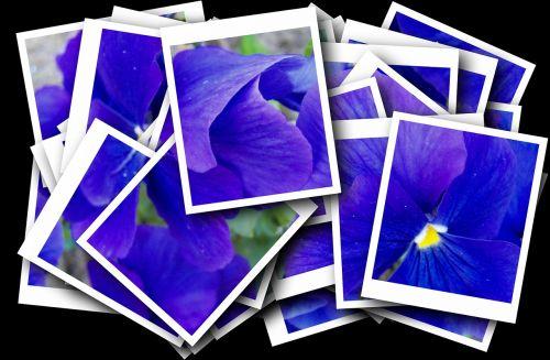 blue pansy flower garden purple
