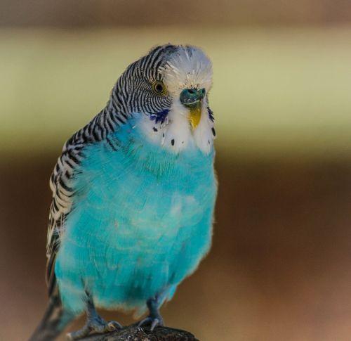 blue parakeet bird blue