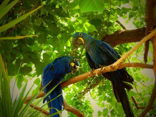 blue parrots birds tropical