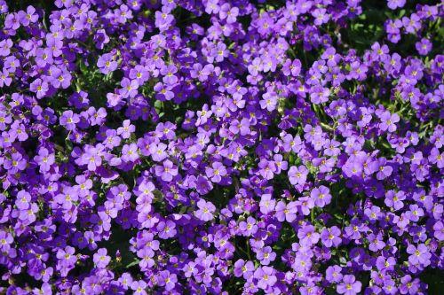 blue pillow flowers violet