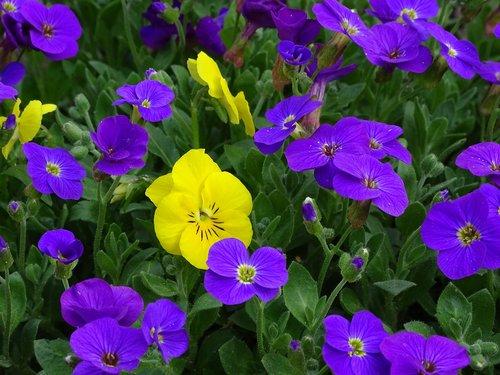 blue pillow  aubrieta  cruciferous