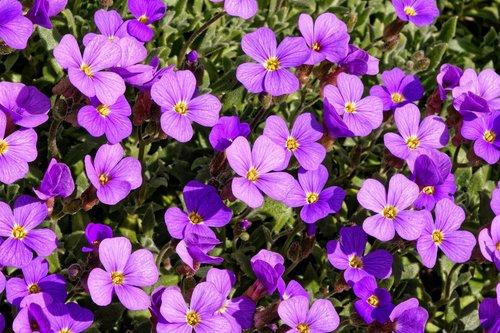 blue pillow  aubrietien  violet