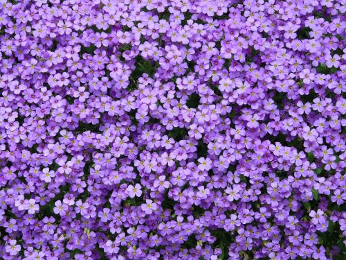 blue pillow aubrieta aubrietien