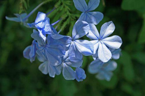 Blue Plumbago Flowers 2