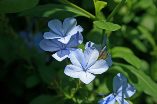 Blue Plumbago Flowers 3