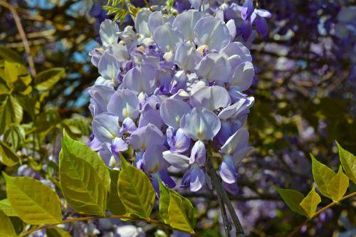 blue rain wisteria blue flowers