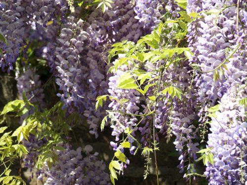blue rain wisteria flowers