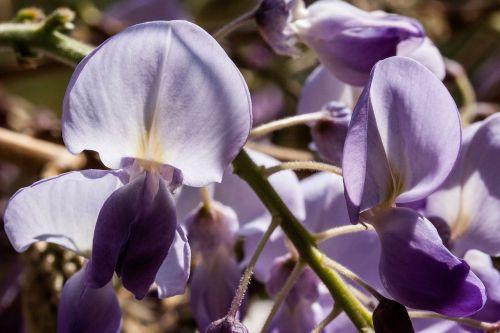 blue rain wisteria wisterien