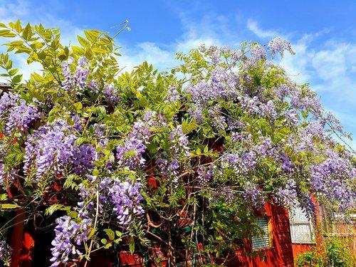 blue rain  climber plant  wisteria