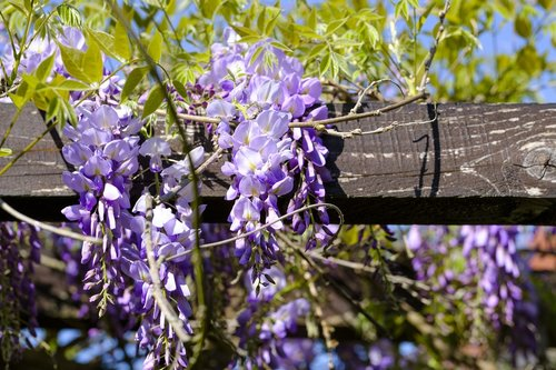 blue rain  wisteria  glycine