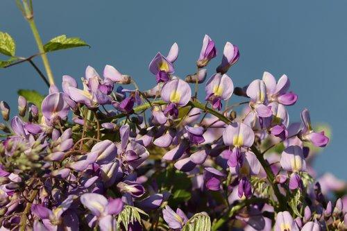 blue rain  wisteria  climber plant