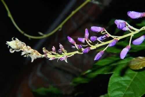 blue rain flowers climbing plants