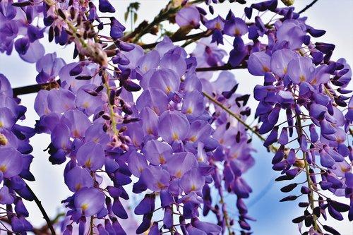 blue rain  flower  violet