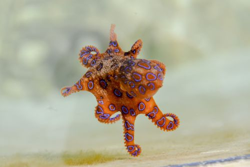 blue ringed octopus octopus marine