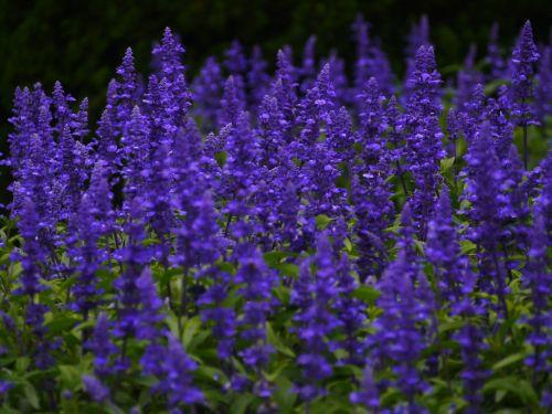 blue sage flowers blue-violet
