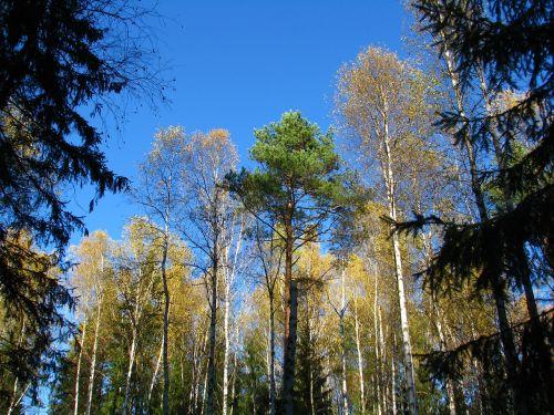 blue sky forest birch