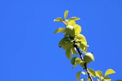 blue sky  all and fruit plants  fruit