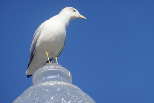 blue sky  seagull at the port of montreal  seagull at the montreal port