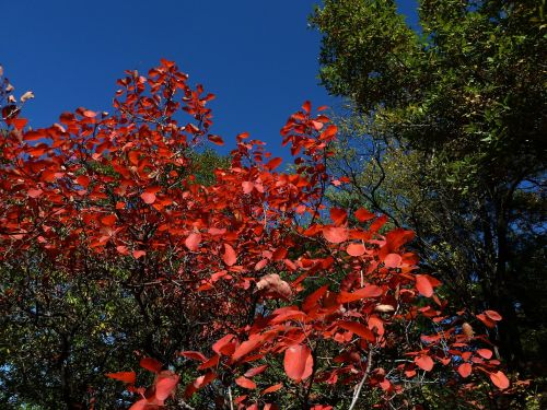 blue sky red leaves late autumn
