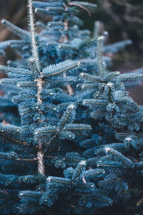 blue spruce spruce tree tree