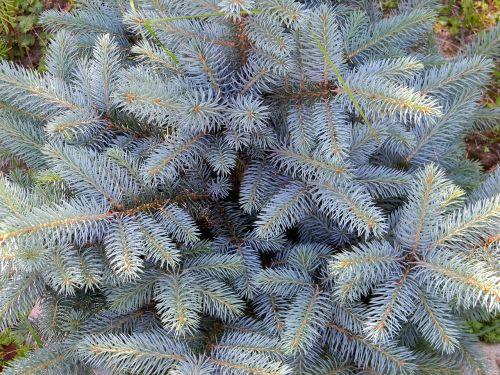 blue spruce needles spruce
