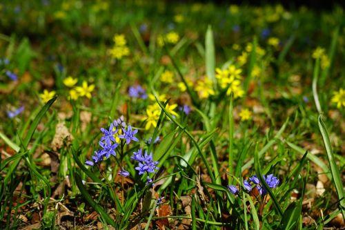 blue star scilla blossom