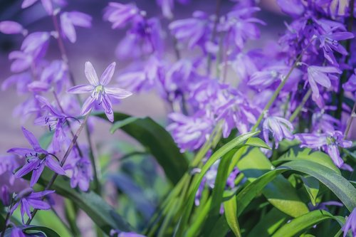 blue star  scilla  flowers