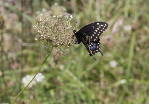 mėlynas & nbsp, swallowtail, drugelis, gamta, grožis & nbsp, gamta, subtilus, trapi, trapumas, mėlyna lazda