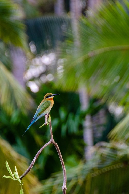 blue-tailed bee-eater  bee-eater  bird
